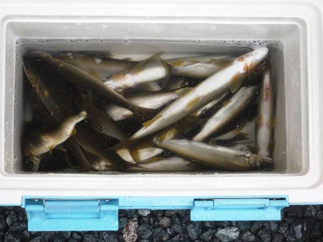 滝水橋上の釣果30匹の鮎