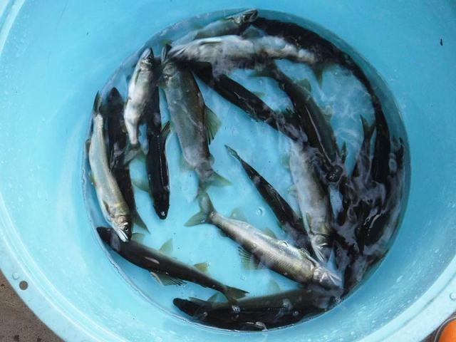 小又の釣果19匹の鮎