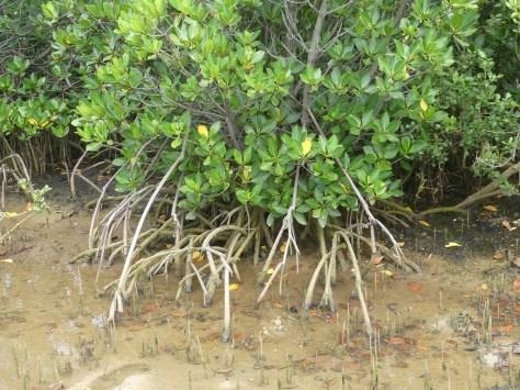 奇妙な形をした根。これで海水に対応しているそうな。