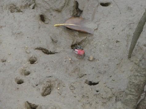 シオマネキの穴があちこちに。せわしなくプランクトンを口に放り込んでいた。