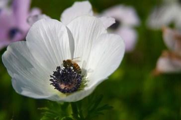 anemone-1169734_640