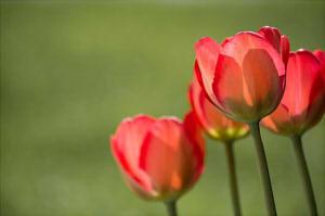 tulips-1477285_640 (12)2