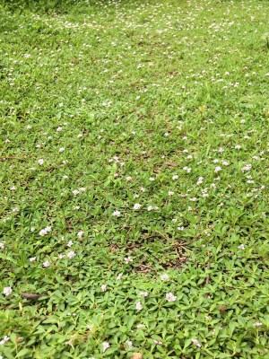 クラピアK7の花