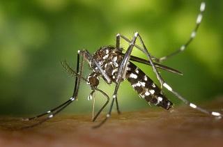 tiger-mosquito-49141_640.jpg