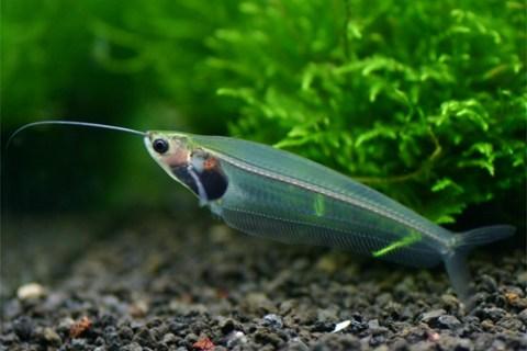 【珍しい熱帯魚】透明!?キスをする!?変なヤツら5選!