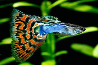 初心者におすすめ、育てやすい熱帯魚4選