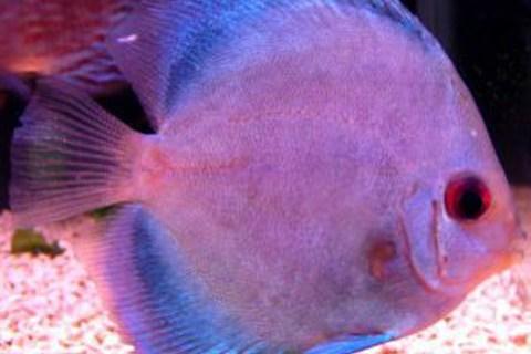 20㎝以上になることもあるので注意!中型の熱帯魚おすすめ5選