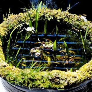 庭でメダカや金魚を育てる!浮草水槽睡蓮鉢ビオトープの作り方