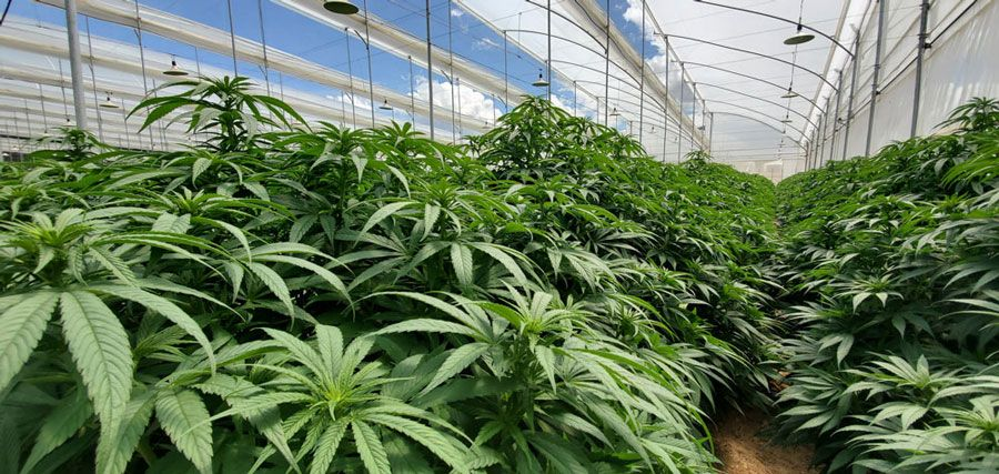 Photo of Clever Leaves seeks to be listed on Nasdaq by merger with Schultze Special Purpose Acquisition Corp.