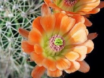 cactus-flower-588099__180