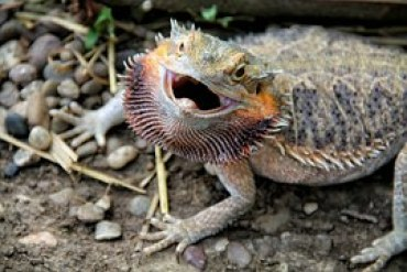 bearded-dragon-314833__180 Bearded Dragon reptile