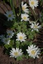 Anemone blanda--lovely white flowers that contrast well with Spring bulbs