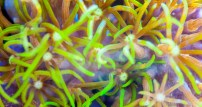 Soft coral green star polyp Pachyclavularia violacea