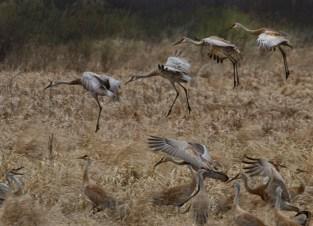 cranes landing marsh