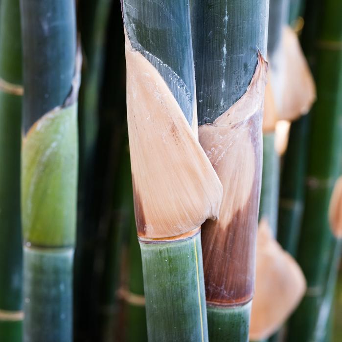 green bamboo stalks field photograph