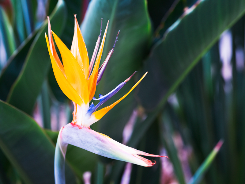 Bird of Paradise flower macro photograph orange blue