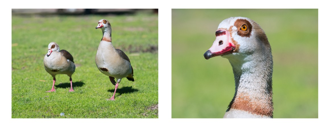 crop of goose portrait showing detail produced by Jena DDR Sonnar 180mm f2.8 lens