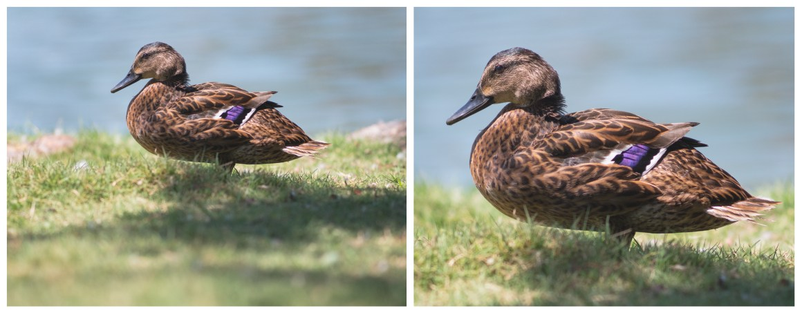 Photograph Female Mallard Duck Zeiss 300mm Jena Crop Detail