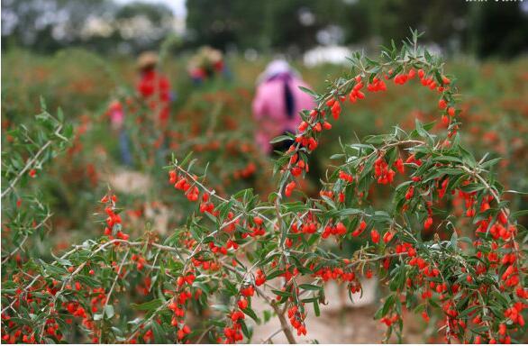 picking  goji berries