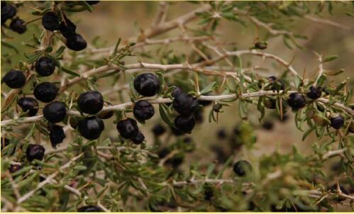 Black wolfberry or Black Fruit Lycium barbarum