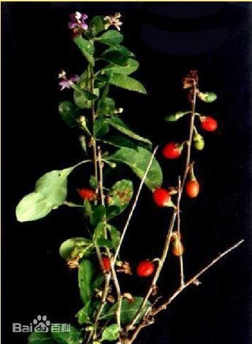Yunnan wolfberry