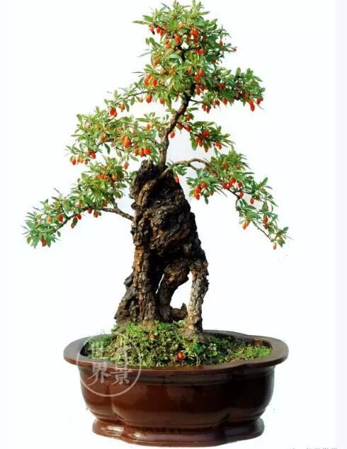 goji berries sapling bonsai