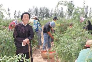 My 100-year-old grandmother manages the goji berry farm