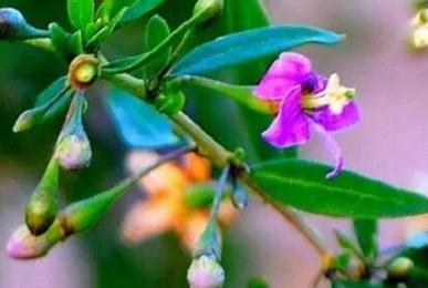 Lycium barbarum fruit