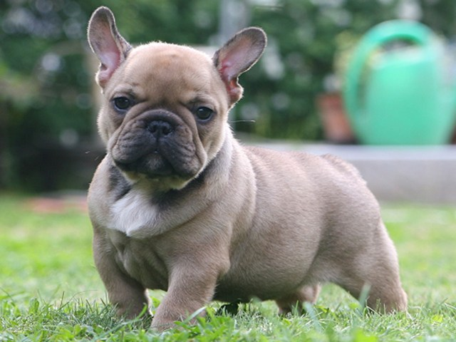 french bulldogs and shorty bulls -