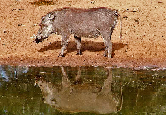 Warthog. n.(wôrthôg, -hg) 1. A wild African hog with two tusks and warty excresences on its face. 2. A person who always eats the best bits. 3. Inspiration for name of school in famous children's story  (slang) Banker