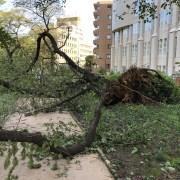 なぎ倒された桜の木
