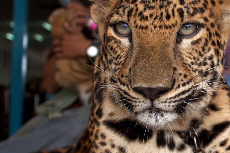 tiger-in-kanchanaburi-1