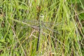 Emperor Dragonfly by Peter Hassett, Pitstone Quarry. 28 May 2017