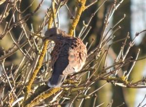 Turtle Dove in member's garden January 2014
