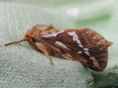 Common Swift moth