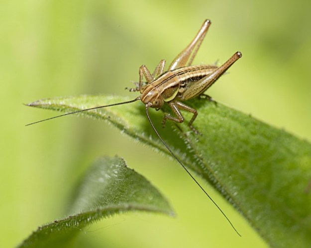 Nymph of Roesel's Bush Cricket by Paul Lund, Linford Lakes NR 16 June 2015