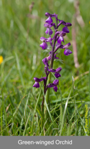 Grren-winged Orchid in Pilch Fields