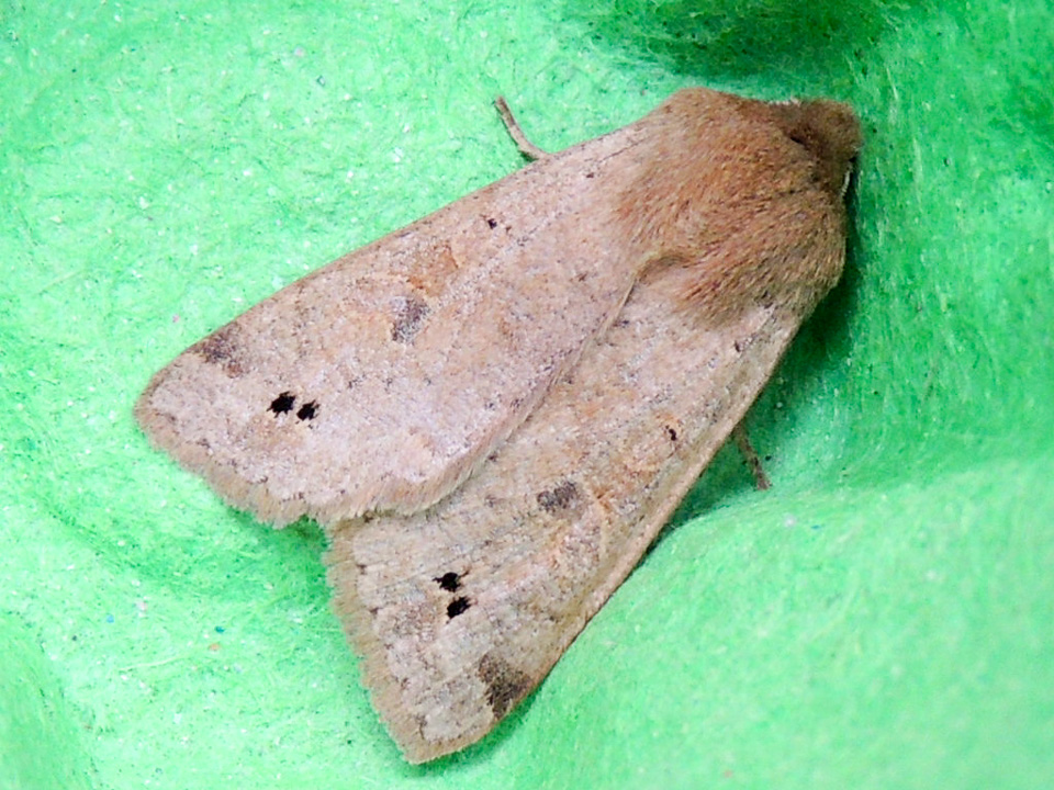 Twin-spotted Quaker by Gordon Redford taken at Linford Lakes NR 03Apr15