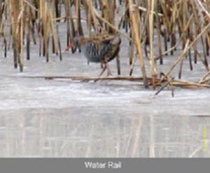 Water Rail walking on a frozen Walton Lake