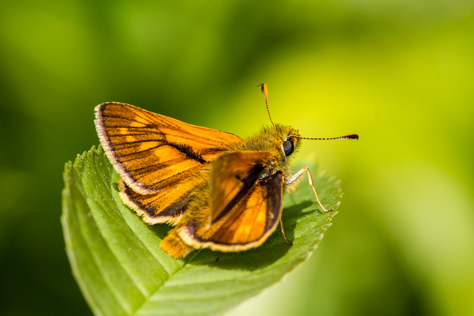 Large Skipper, Linford Wood by Peter Hassett