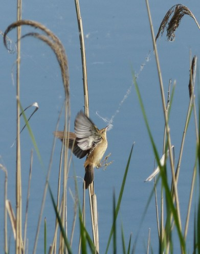 2016 Photo Competition 3rd Reed Warbler collecting fluffy seeds at Otmoor by Michèle Welborn