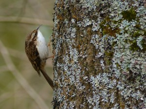 Treecreeper in Howe Park Wood by Harry Appleyard