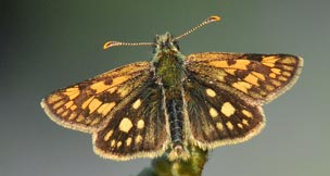 1.chequered-skipper-main
