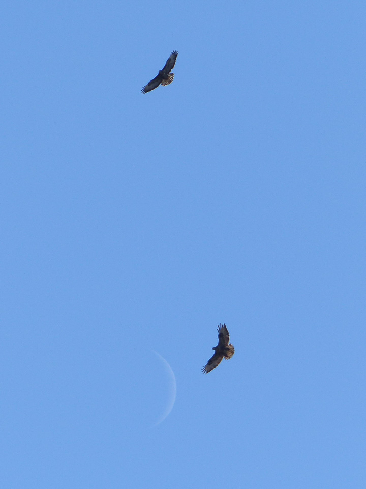 Common Buzzards over Howe Park Wood by Harry Appleyard 11Feb16