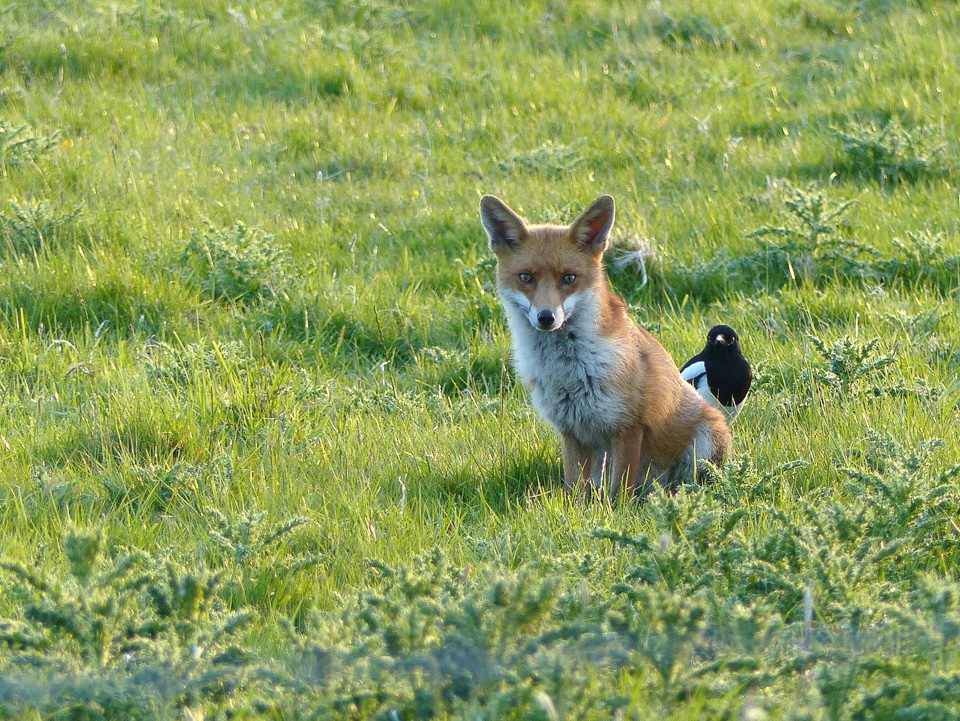 Fox and Magpie - North Bucks Way in June 2015 by Harry Appleyard
