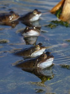 Common Frogs by Harry Appleyard, Howe Park Wood 01Mar16