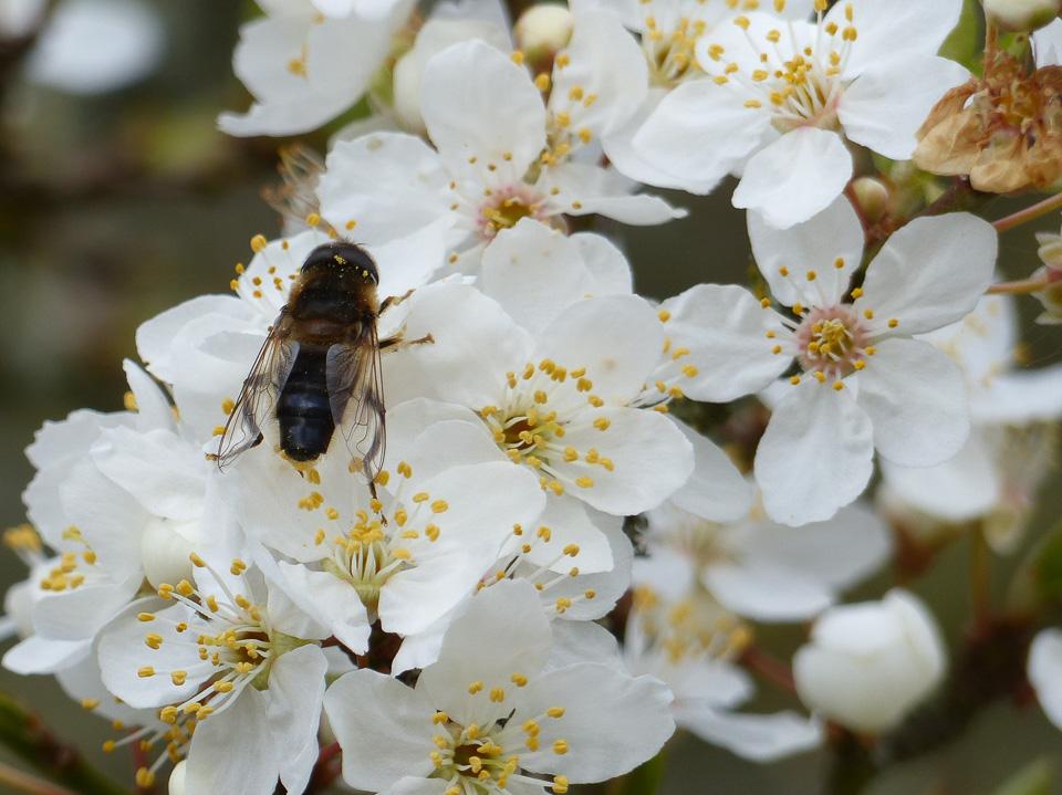 Hoverfly on blossom by Harry Appleyard, Tattenhoe, 20 March 2016