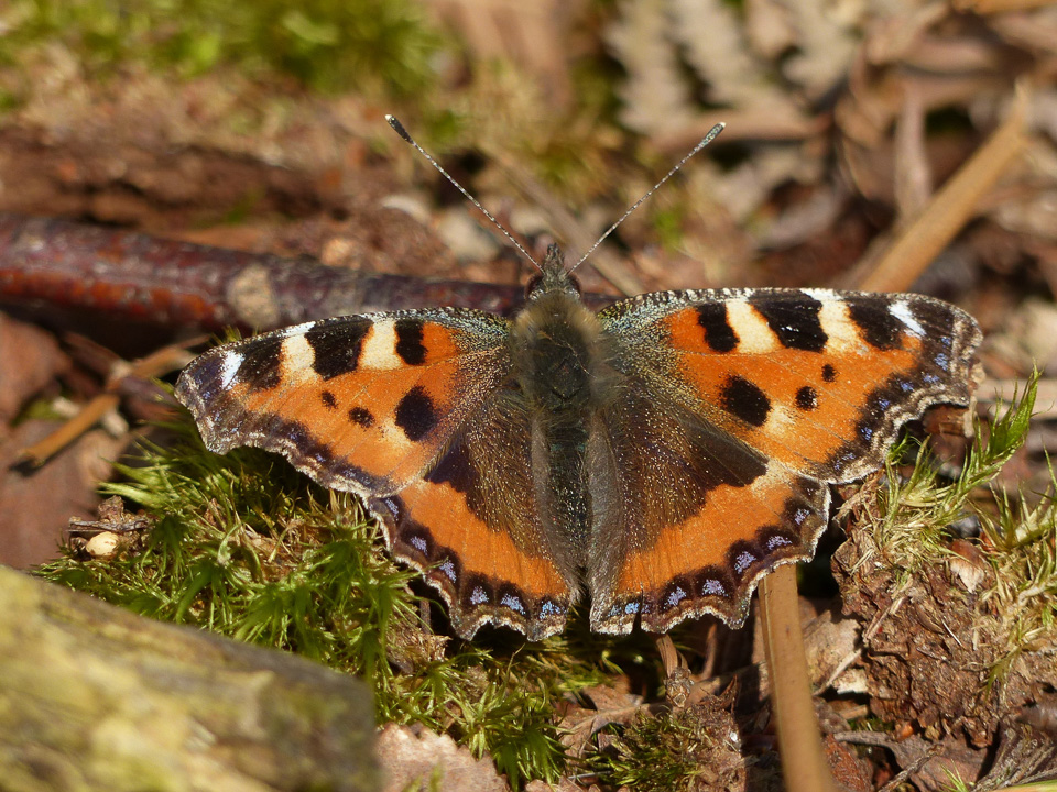 Small Tortoiseshell by Harry Appleyard, Kings Wood 13 March 2016