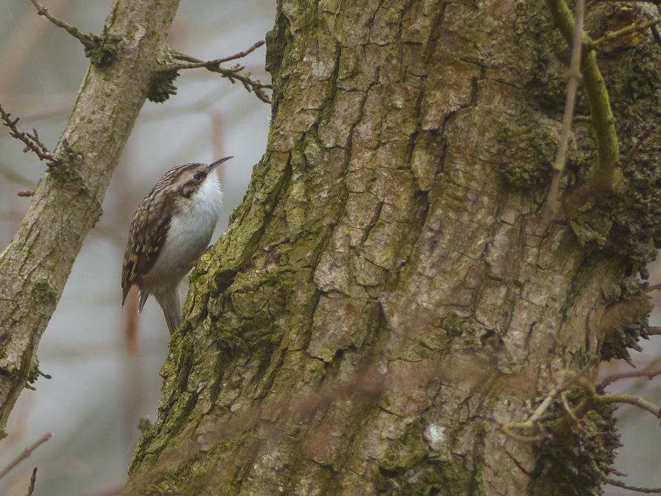 Treecreeper by Harry Appleyard, Howe Park Wood 13 March 2016