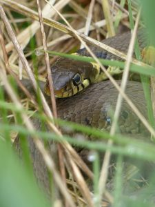 Grass Snake by Harry Appleyard, Tattenhoe, 15 April 2016